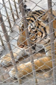 confiscated tiger